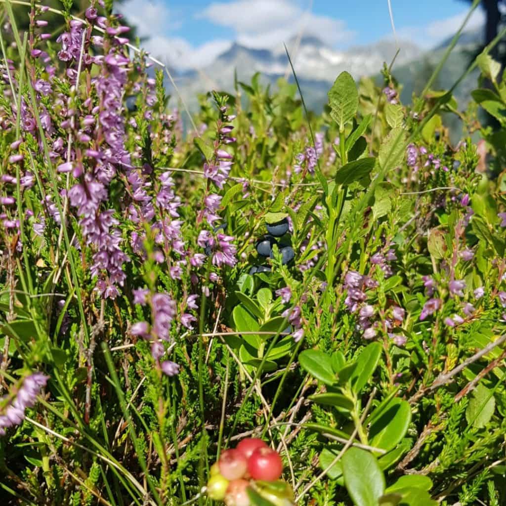 Wildkräuterwanderungen in Sedrun - Disentis